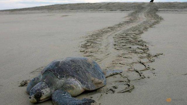 مرگ مشکوک بیش از 100 لاک پشت در سواحل مکزیک