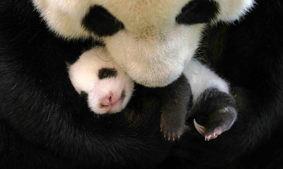 عکس روز، توله پاندا در آغوش مادر
