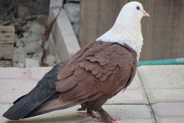 خواص گوشت کبوتر در درمان بیماری ها