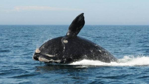 تور روسیه: نجات بچه نهنگ قاتل در نزدیکی سواحل روسیه